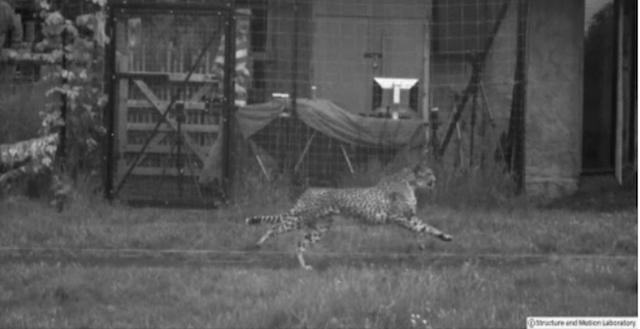 Cheeta Running